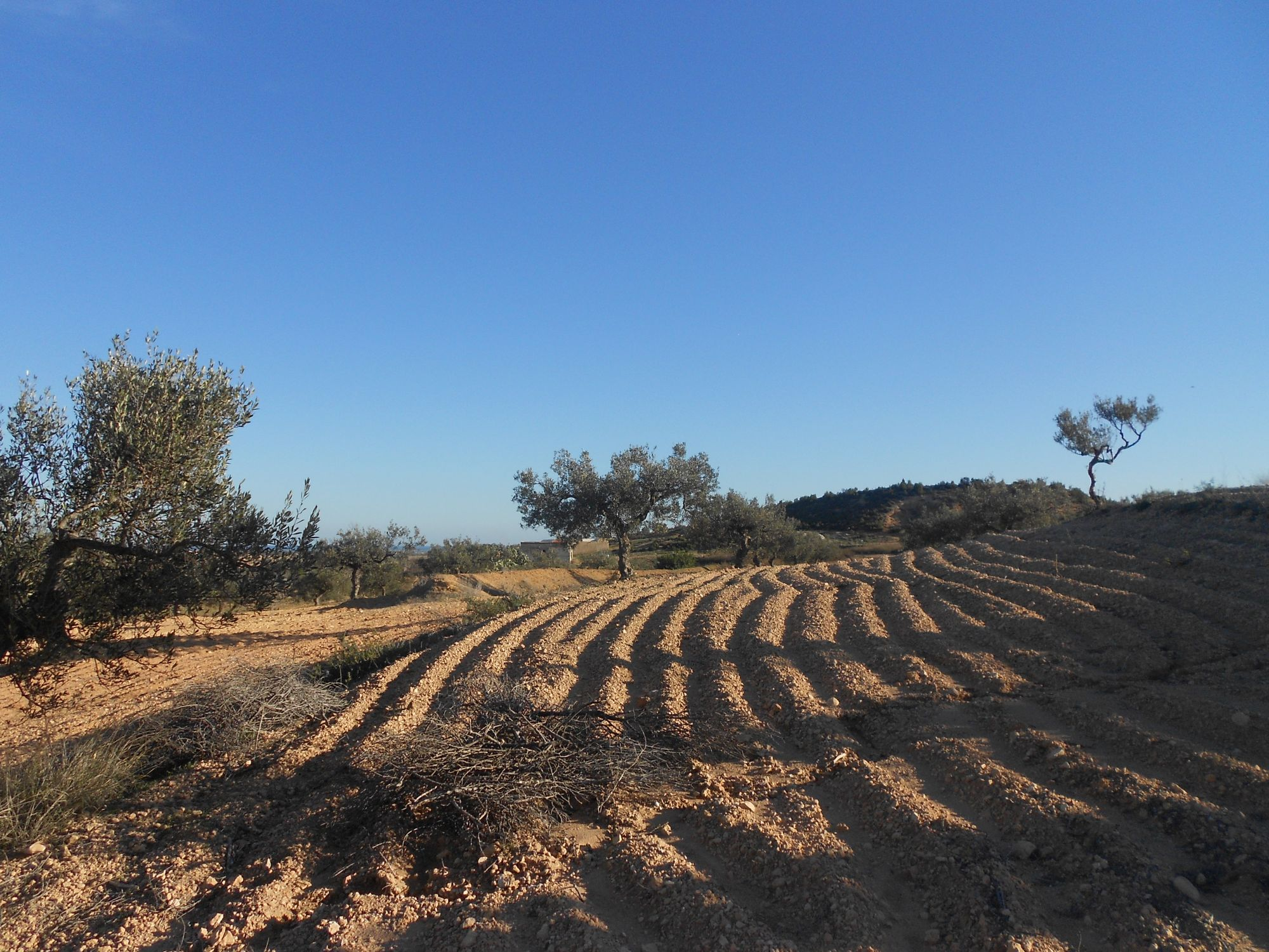 Terrain 2 hectares plant d 39 olives pas loin de hammamet for Vente plantes artificielles tunisie