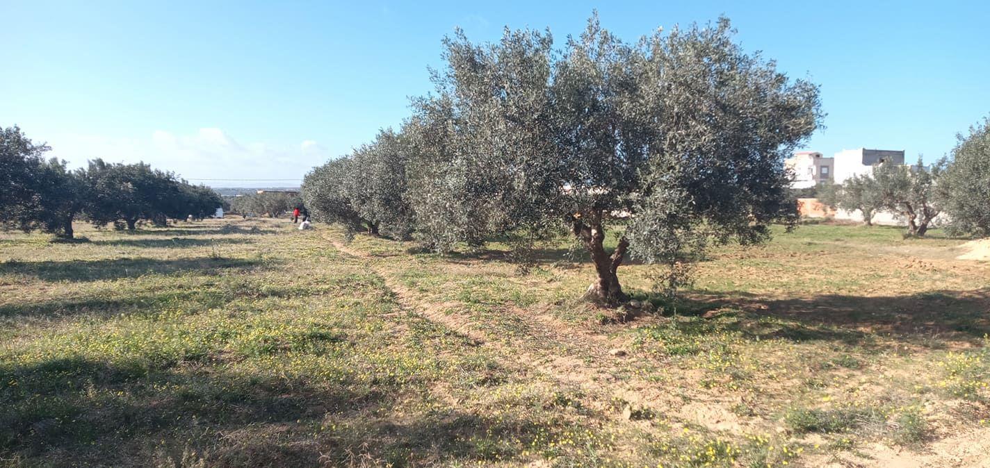 Terrain planté d'olivier