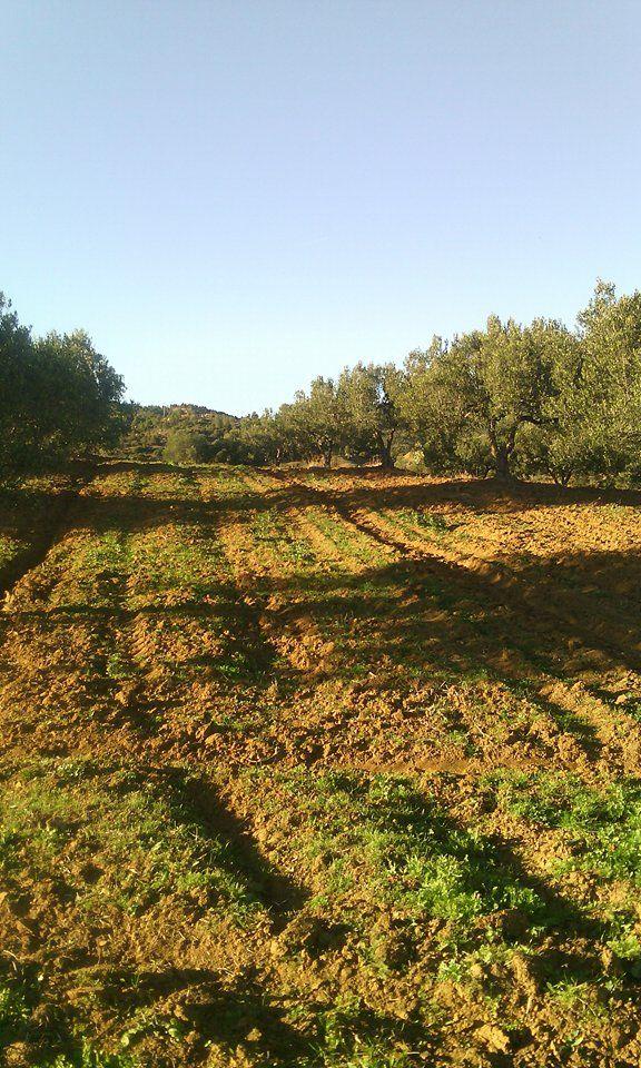 5 hectares avec 240 zitouna à hammamet